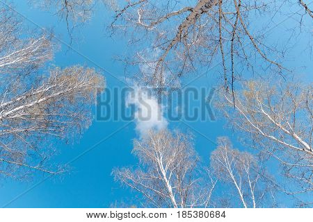 Tops Of Birches. Birches Against The Background Of The Blue Sky.