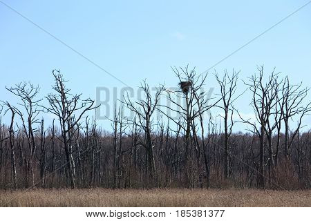 Mire With Nest Of White-tailed Eagle (haliaeetus Albicilla)