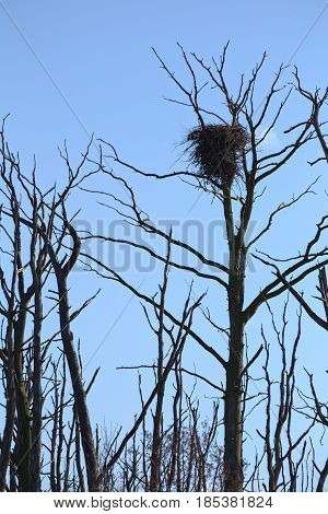Nest of a White-tailed eagle (Haliaeetus albicilla).