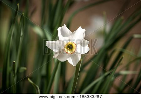 White daffodil flower in nature. Fresh daffodil flower.
