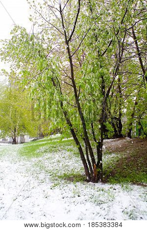 Moscow Russia May 8 2017: A natural phenomenon. Unexpected spring snowfall and flowering trees.
