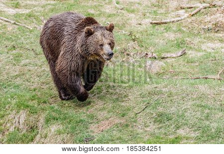 A big brown bear running. Brown bear jumps on grass. Portrait of a brown bear.