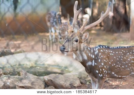 The chital or cheetal also known as spotted deer or axis deer  poster