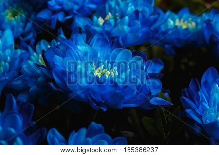 Blue Chrysanthemum As Background. The Blue Chrysanthemum Flower, Close Up, Macro. Blue Flower Close