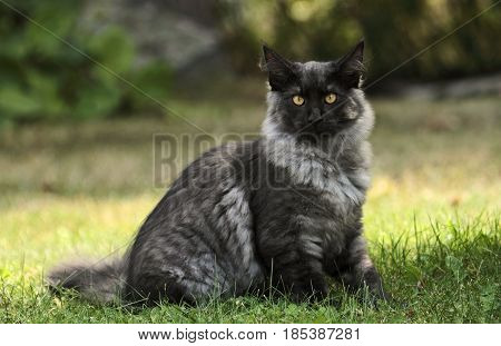 Norwegian forest cat youngster sitting in the garden