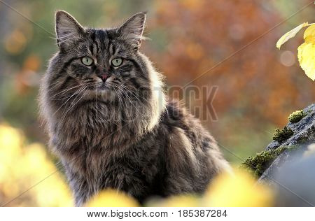 Norwegian forest cat male in the autumn forest
