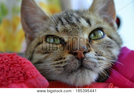 Cat of Bengal breed with green eyes photographed close-up
