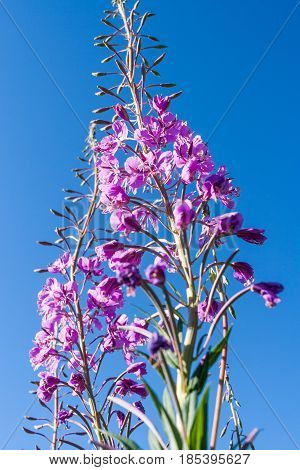 Pink fireweed flower against the blue sky. Lower shooting point.