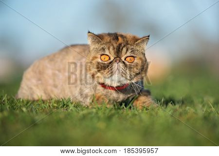 adorable exotic shorthair cat posing outdoors in summer