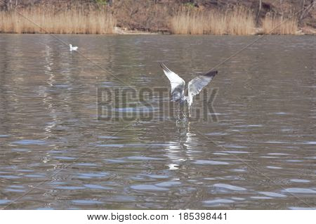 A bird flying very close to the surface of the water.