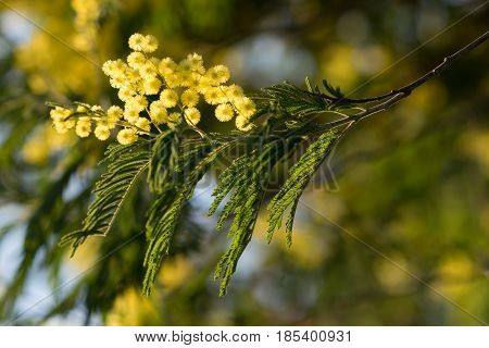 yellow fluffy flowers of acacia silver among the green branches