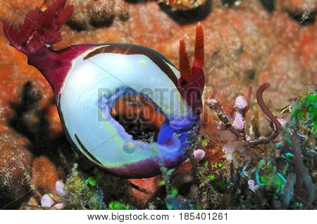 Nudibranch (Purple lined nembrotha) curled into a circle, Panglao, Philippines