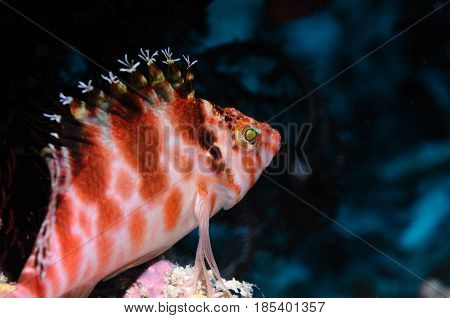 Spotted hawkfish is sitting on a reef edge, Panglao, Philippines