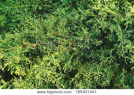 A Green Thuja Tree Branches Closeup. Green Background.