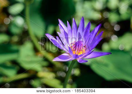 Lotus is blooming beautiful purple lotus background and bokehKing of Siam Lotus of thailand (Nymphaea spp) (hybrid)
