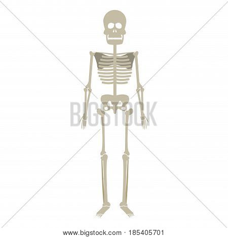 skeleton human anatomy skull bone medical science illustration vector