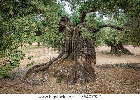 Wide angle closeup view of ancient thousand-year-old olive tree trunk