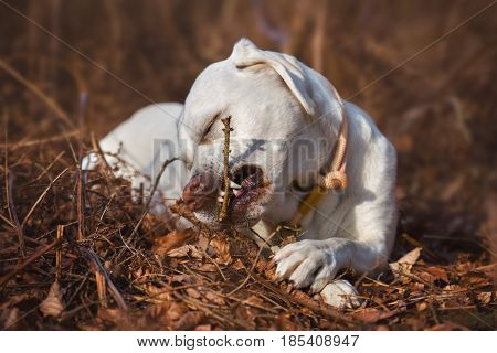 young white labrador retriever dog puppy plays with a wooden stick