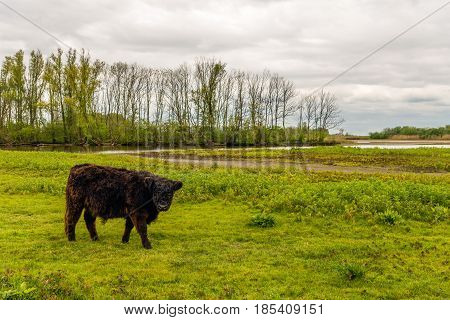 Strong dark brown colored Galloway bull with a curly winter coat curiously looking at the photographer who disturbs the rest in a small nature reserve. It is a cloudy day in the spring season.