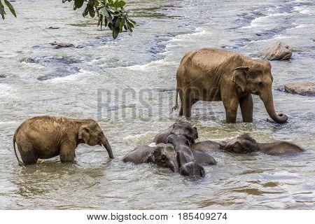 Elephants In The River Maha Oya At Pinnawala
