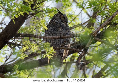 A Great Horned Owl perches in deep cover. These large owls can be found in many wooded areas in Iowa.