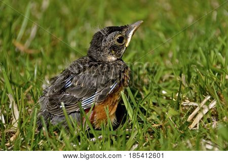 A baby robin has fallen out of it's nest and is sitting in the grass.