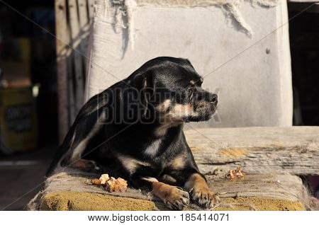 a small black mutt or mixed breed of female dog laying on a weathered chair in the sunlight in Zhaodong China.