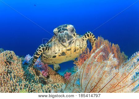 Hawksbill Sea Turtle feeding on coral reef