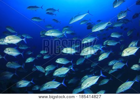 Bluefin Trevally (Jack) fish