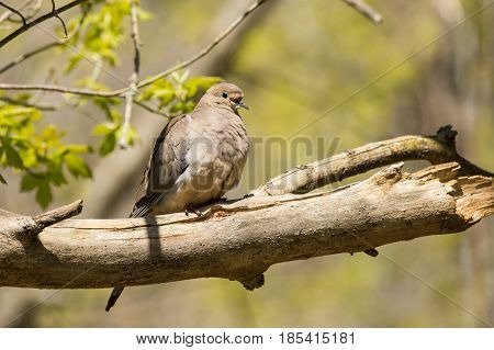 A Mourning Dove perched on a tree during spring migration in Wisconsin.