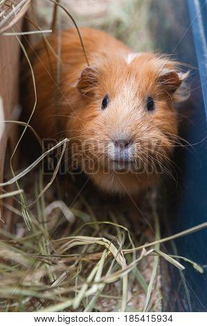 Portret of red guinea pig. Close up.