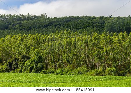 Soy Plantation And Eucalyptus Forest