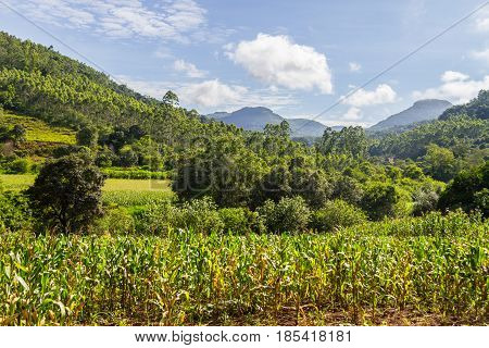 Corn Plantation In Valley