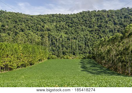 Soy Plantation And Eucalyptus And Pine Forest