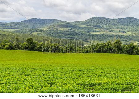 Soy Plantation And Farm
