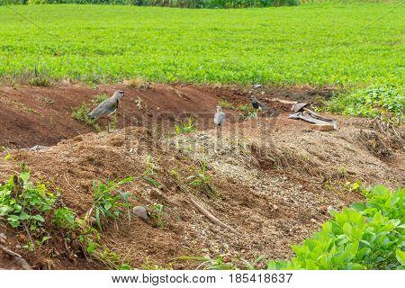 Southern Lapwing in Soy plantation in Linha Alegre Mucum Rio Grande do Sul Brazil