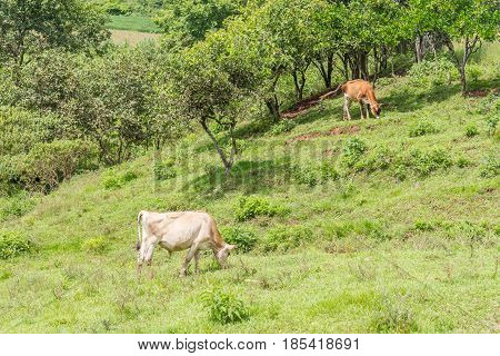 Cow Eating In The Field