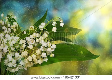 Lily of the valley, convallaria flowers. Spring flowers in the early morning in the rain.
