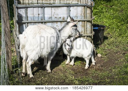 Goat kid with the mother in a rural environment behind a fence in the spring