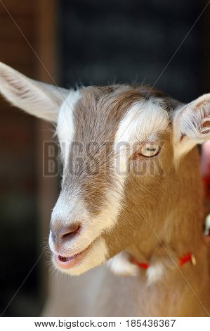 Farmyard British Toggenburg domesticated goat breed Capra aegagrus hircus.