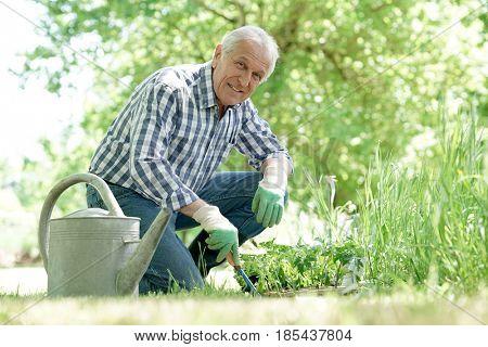 Senior man planting aromatic plants in garden