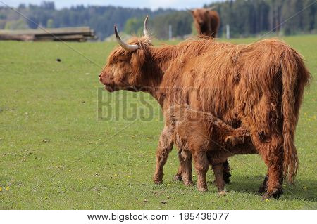 Wide Angle Shot Of A Highland Cow Feeding Her Calf
