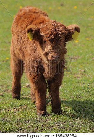 Wide Angle Shot Of A Highland Calf