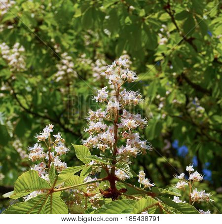 Branch chestnut close-up. White chestnut flowers photographed against the background of lush green leaves.