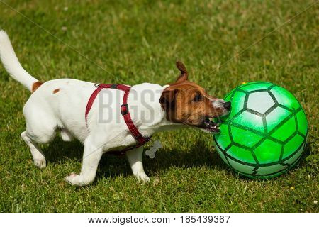 Jack Russell Terrier Dog Playing With Ball
