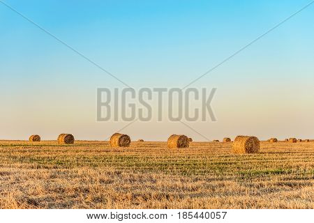 Row of straw bales on the field. Agricultural landscape with hay rolls.