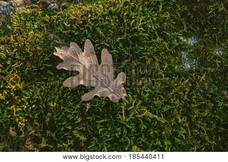 Oak tree leaf in mossy background. Oak tree leaves. Texture of oak tree leaf in mossy background. Mossy background. Oak tree leaf isolated over green background. Texture for designers.