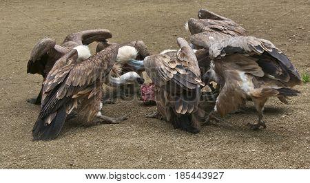Seven griffon vultures (Gyps fulvus) feeding on a carcass.