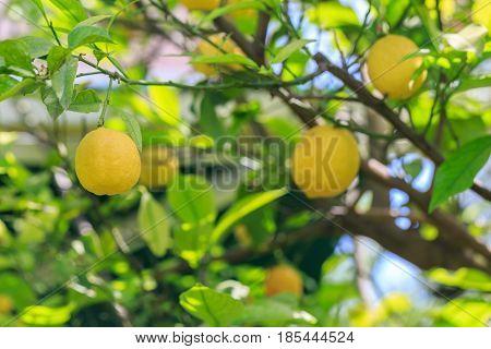 Lemon fruit on the lemon tree branch