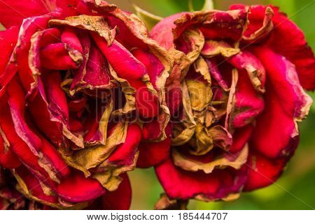 Faded red roses autumn fall blossom brown